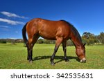 Horse Eating Grass On A Plain...