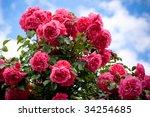 Rose Flower Bush In Garden With ...