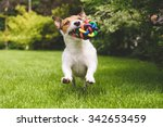 Stock photo jack russell terrier dog running with a colorful ball 342653459
