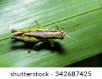 grasshopper   Shutterstock . vector #342687425