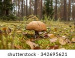 a wild brown mushroom in the... | Shutterstock . vector #342695621