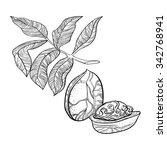hand drawn walnut illustration. ... | Shutterstock .eps vector #342768941