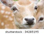 Close Up Portrait Of Female Deer
