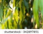 eucalyptus leaves | Shutterstock . vector #342897851
