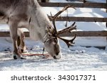 Reindeer Eating In Finnish...