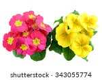 Two Pink Yellow Potted Primula...