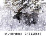Bull Moose In Snowy Meadow