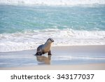 australian sea lion  neophoca... | Shutterstock . vector #343177037