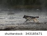 Grey Wolves  Canis Lupus  Run...