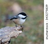 Black Capped Chickadee In Fall