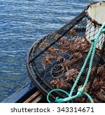 Alaskan Crab Caught In A Trap
