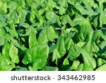 Green Spinach In Growth At...