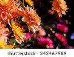 Closeup Yellow Dahlia. Autumn...