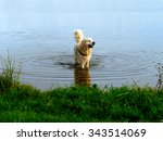 Labrador Retriever Standing In...
