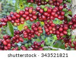 coffee tree with coffee bean on ... | Shutterstock . vector #343521821