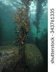 Seaweeds Reaching Sea Surface...