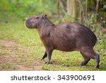 A Capybara  Hydrochoerus...