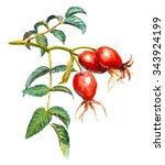 a branch of dog rose  briar ... | Shutterstock . vector #343924199