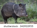 Javelina In Rio Grande Valley...