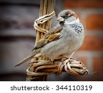 House Sparrow  Passer...