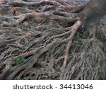 Banyan Roots Above The Earth...