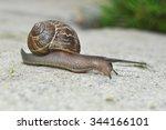 Garden Snail   This Snail...