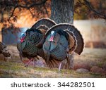 Two Male Turkeys Strutting On...