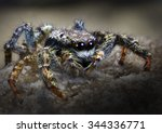 Cattle Jumping Spider...