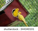 Canary Bird ..