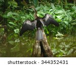 An Anhinga drying it