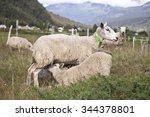 A Sheep Feeding Her Lamb  Norway