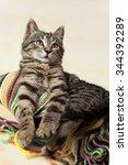 striped european shorthair... | Shutterstock . vector #344392289