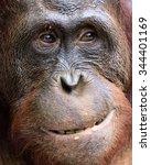 Orangutan Portrait. A Portrait...