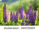 Purple Lupins In Arrowtown  Ne...
