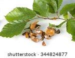 beech  fagus sylvatica | Shutterstock . vector #344824877