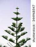 Norfolk Island Pine Latin Name...