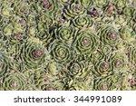 Small photo of White mountain saxifrage (Saxifraga paniculata) Alpine saxifrage, Encrusted saxifrage or Silver saxifrage is a alpine flower