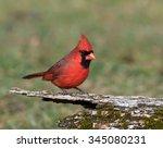 Male Northern Cardinal In Fall