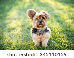 cute little yorkshire terrier... | Shutterstock . vector #345110159