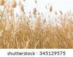 yellow reeds in nature in autumn | Shutterstock . vector #345129575