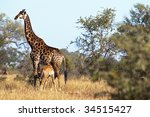 giraffes seen in south africa | Shutterstock . vector #34515427