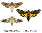 Moths.sphingidae Family...