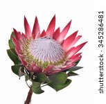 isolated protea cynaroides... | Shutterstock . vector #345286481