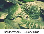 tropical leaves background ... | Shutterstock . vector #345291305