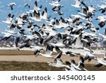 Snow Geese Take Off In Fall On...