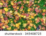 Colorful Fall Maple Leaves  On...