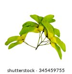Bright Maple Seeds Isolated On...