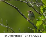 Small photo of A photograph of a shy Henslow's Sparrow, a grassland species of sparrow that is in decline across North America.