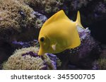 Yellow Hawaiian Tang Fish Is...
