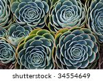 Nature background of succulent echeveria rosettes with morning dew. - stock photo